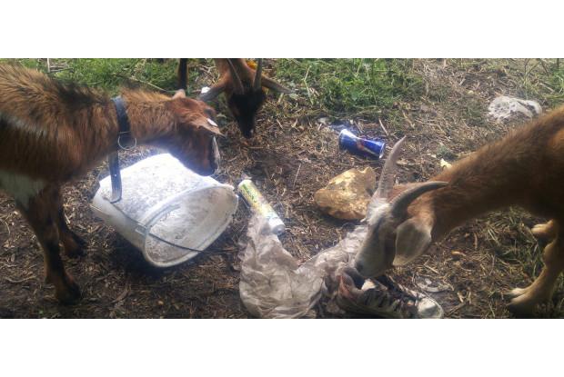 Ziegen im Müll